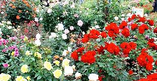 開花情報のイメージ