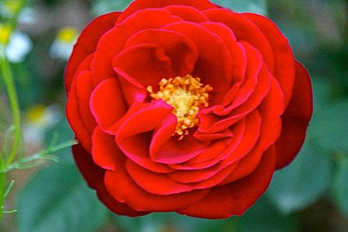 red-pinocchio